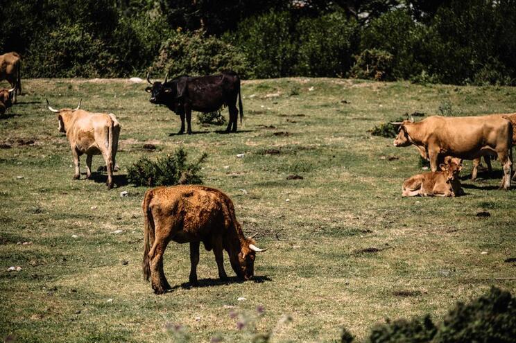 Países mudam métodos de criação de gado para reduzir emissões de carbono