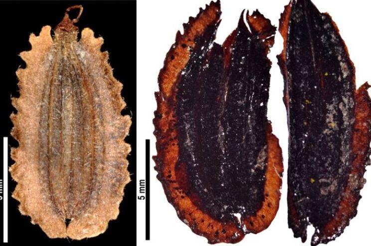 O fóssil identificado é de uma espécie endémica da ilha da Madeira, o aipo-da-serra (Melanoselinum decipiens)
