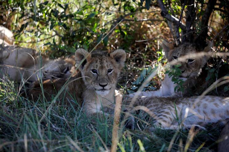 Há mais leões em Gorongosa. População cresce e chega aos 146