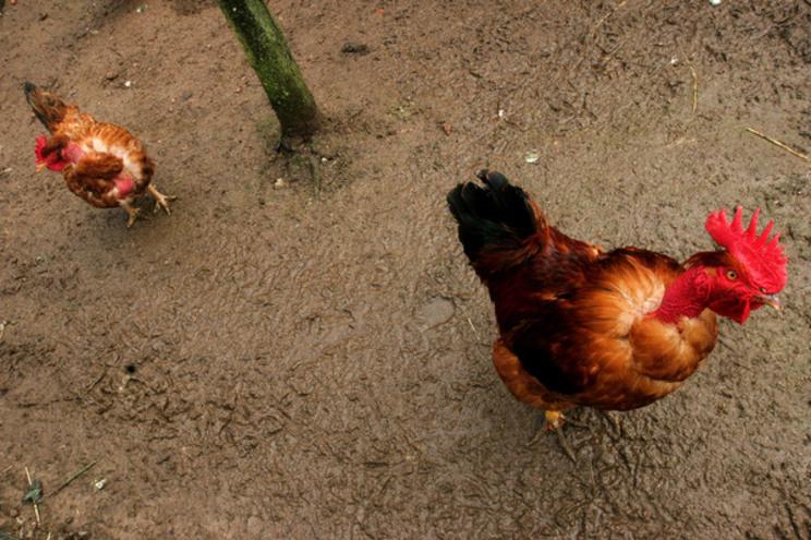 Vizinhos queixavam-se que barulho do galinheiro não os deixava repousar e o tribunal deu-lhes razão