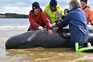 Equipas de resgate salvaram as últimas 20 baleias presas na Austrália
