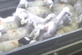 Atividade do matadouro suspenso após denúncia de maus-tratos a animais