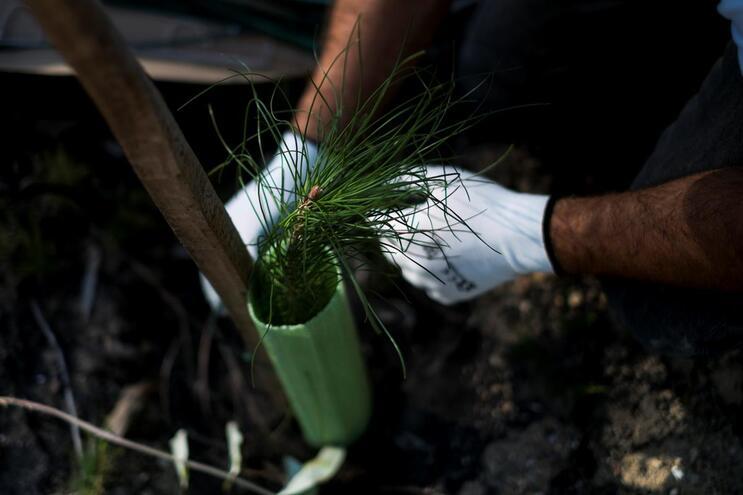 Reflorestação das zonas ardidas em 2017