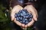 Consumo continuado de mirtilo tem um forte impacto no fígado
