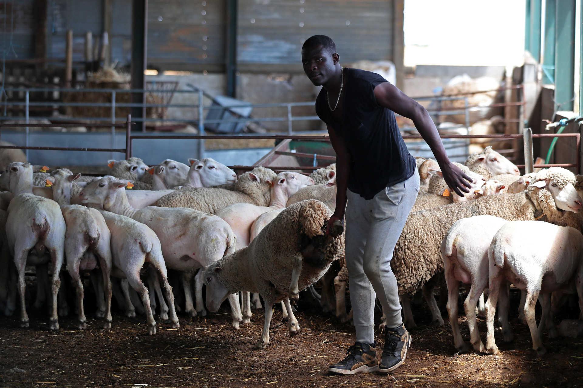 Jogadores estrangeiros trocam os campos de futebol pela tosquia de ovelhas no Alentejo