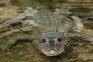 Registo de nove mortos em 2019 devido a ataques de crocodilo em Timor-Leste