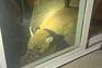 Mulher ataque puma para salvar cão que acaba por morrer