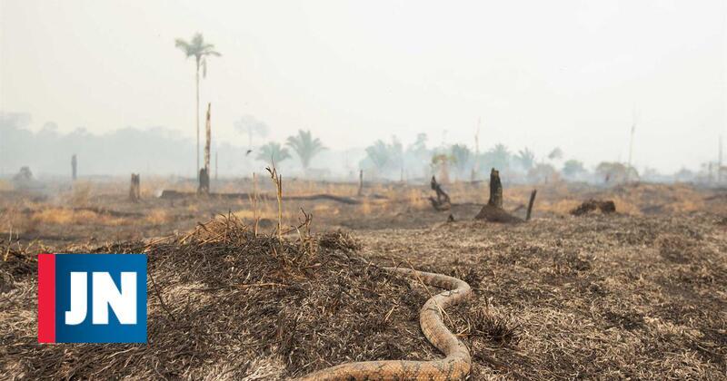 Cobra sobrevive às chamas. Imagens do fogo na Amazónia