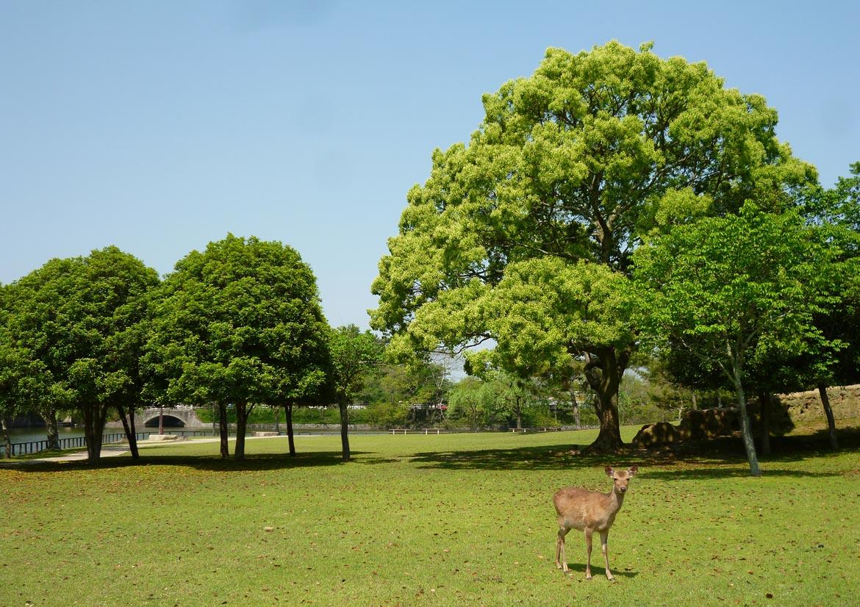 Veado no parque de Nara