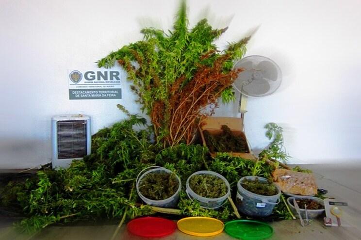 Tinha 25 plantas e 3500 doses de canábis em casa para vender