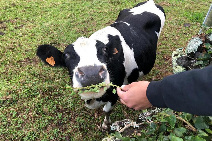 Produtores de leite portugueses receberam menos 421 milhões do que a média europeia