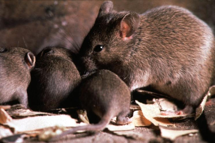 Há seis milhões de roedores na Área Metropolitana de Lisboa