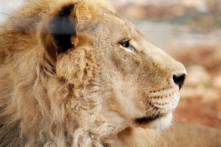 Tratadora morta por leão duas semanas após ser contratada