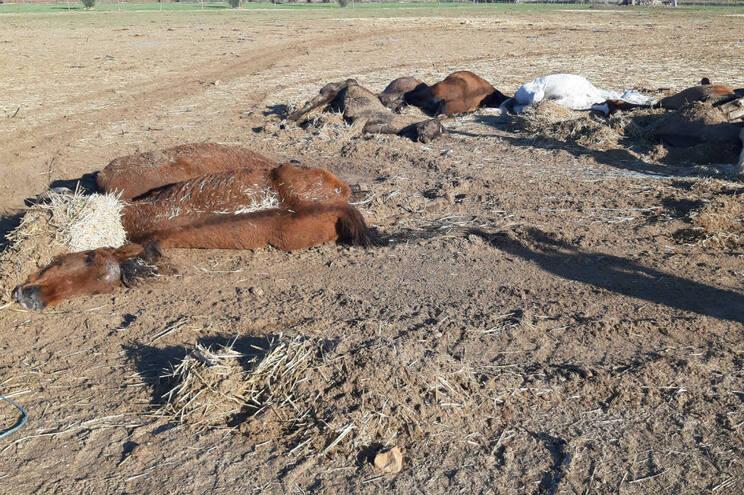 Cavalos que morreram por falta de alimento já foram enterrados