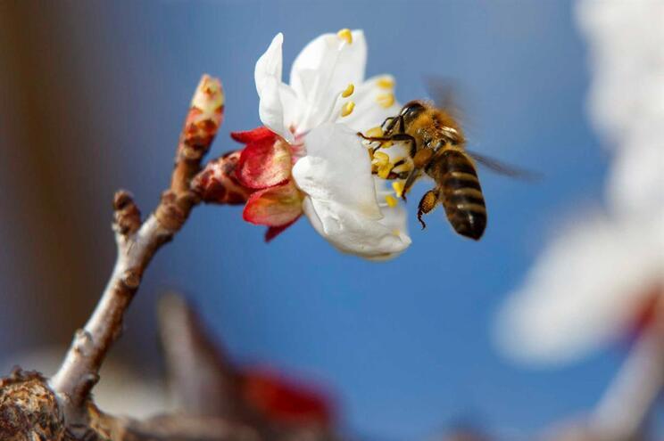 Quatro abelhas encontradas vivas dentro do olho de uma mulher