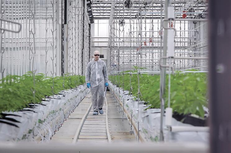 Há 75 empresas dispostas a plantar canábis no país