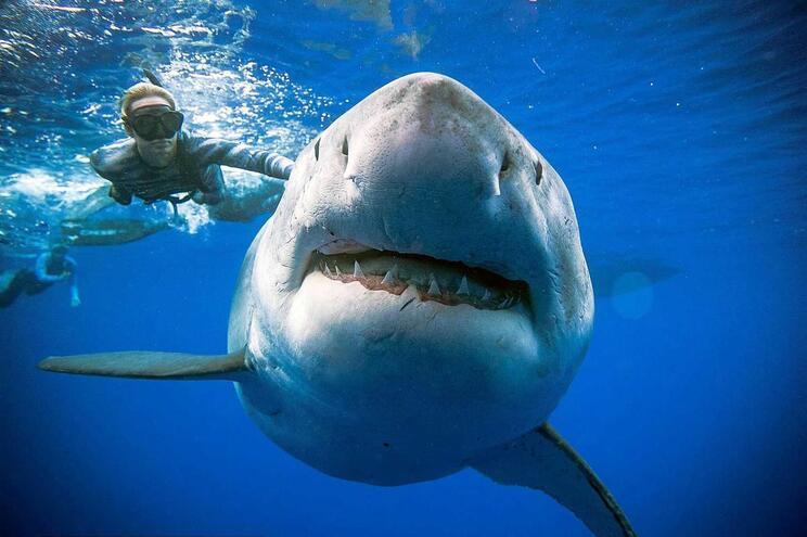 Tubarões são cada vez mais raros e mais pequenos perto de zonas habitadas