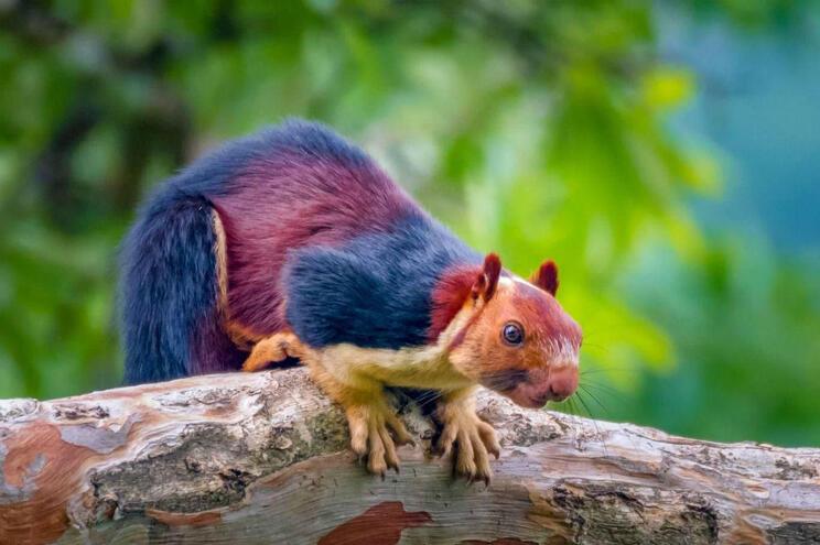 Ratufa, o esquilo colorido que apaixonou a internet