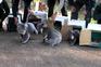 Coalas resgatados dos incêndios na Austrália devolvidos à floresta