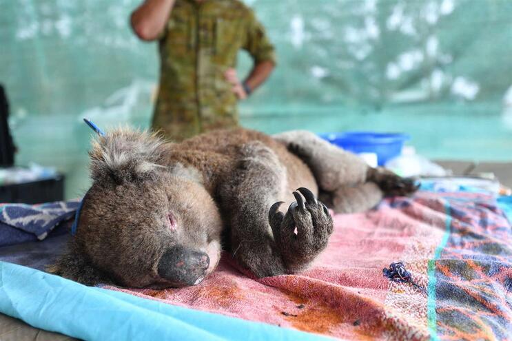 Milhares de coalas morreram nos incêndios