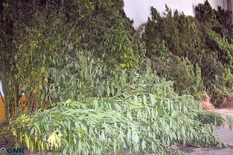 Algumas das 500 plantas apreendidas