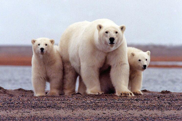 Ursos polares no Refúgio Nacional da Vida Selvagem do Ártico, no Alasca