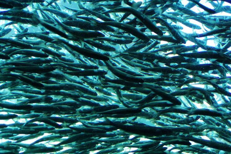 Rio Minho repovoado com 600 mil salmões