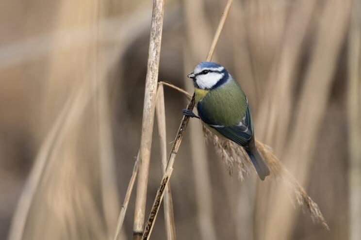 """Na Alemanha, investigadores aconselham """"distanciamento"""" destes pássaros"""