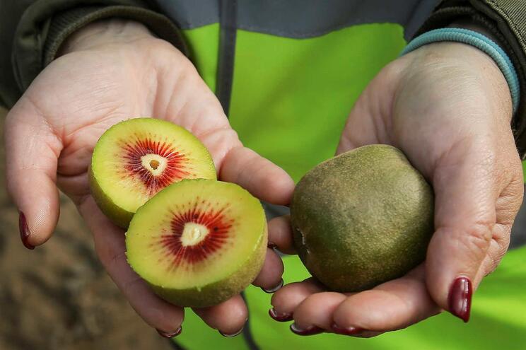 Kiwicoop produz 6400 toneladas de kiwi