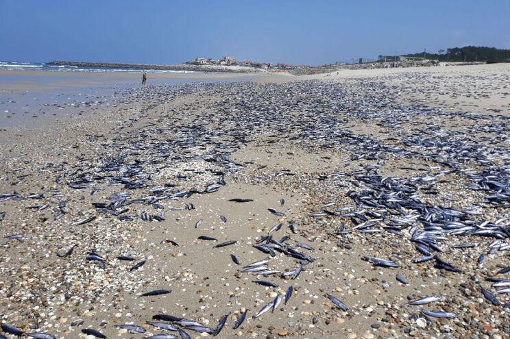 Peixes mortos em Ovar