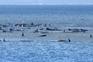 Centenas de baleias encalhadas num banco de areia na Tasmânia