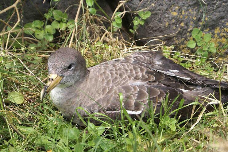 """Furacão """"Lorenzo"""" causou a morte a 700 aves no Pico e no Faial"""
