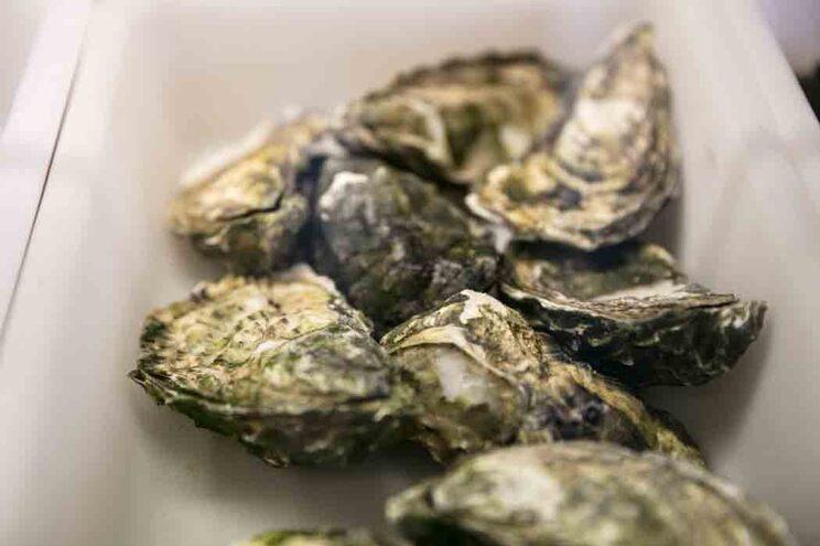 GNR apreende em Olhão meia tonelada de ostras por falta de registo