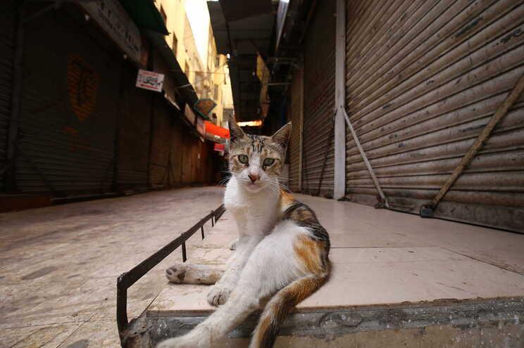 Investigação em Espanha deteta gato infetado saudável e assintomático