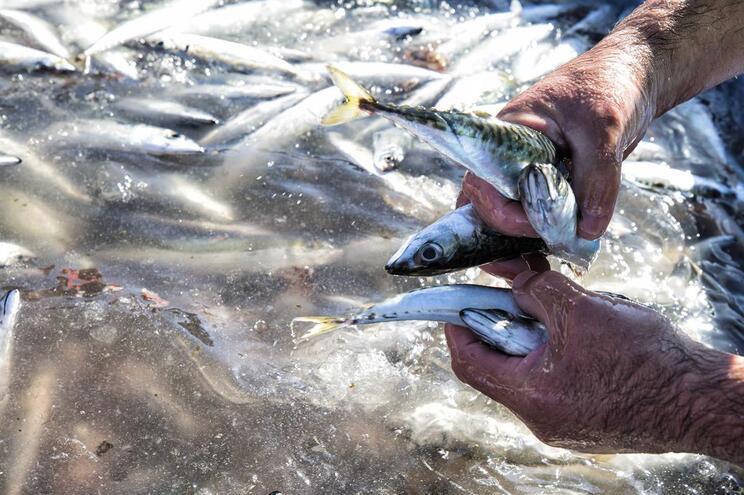 Quota da sardinha desce e zonas sem pesca avançam