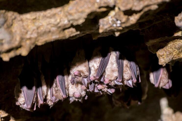 Cientistas descobrem seis novas estirpes de coronavírus em morcegos