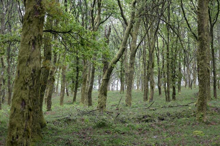 Renováveis querem floresta a pagar o custo da energia