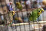 Os passarinhos estão de volta à feira nas Fontainhas