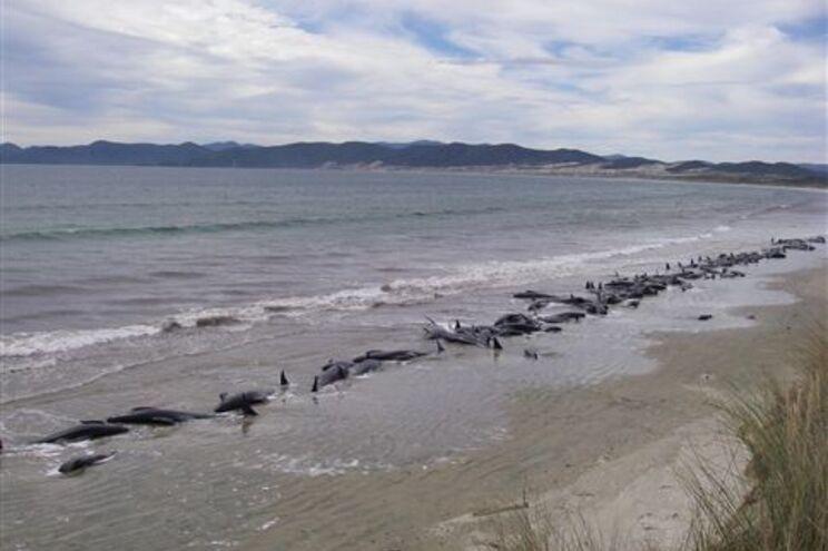Grupo de baleias-piloto que morreu na praia