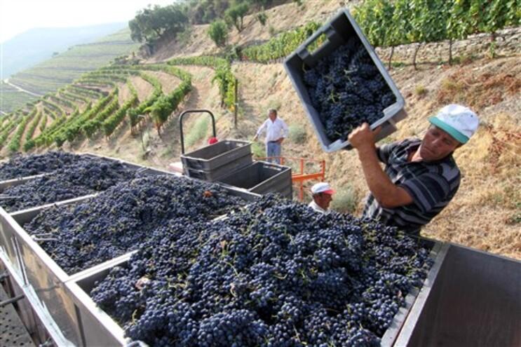 Cerca de 45 mil hectares de vinha da Região Demarcada do Douro produzem anualmente, em média, 260 mil