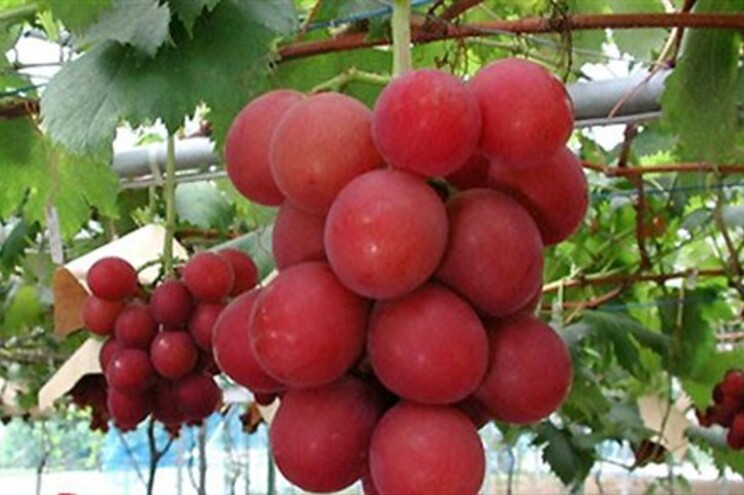 Cacho de uvas vendido no Japão por quatro mil euros