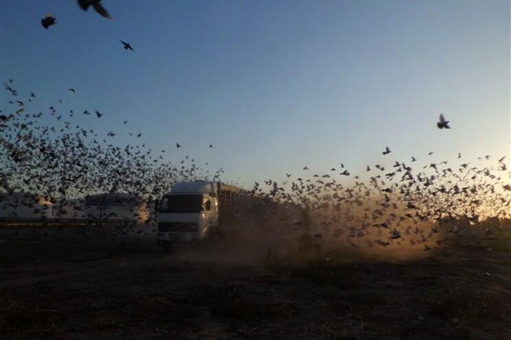 Largada de 70 mil pombos-correio de columbófilos portugueses em Valência