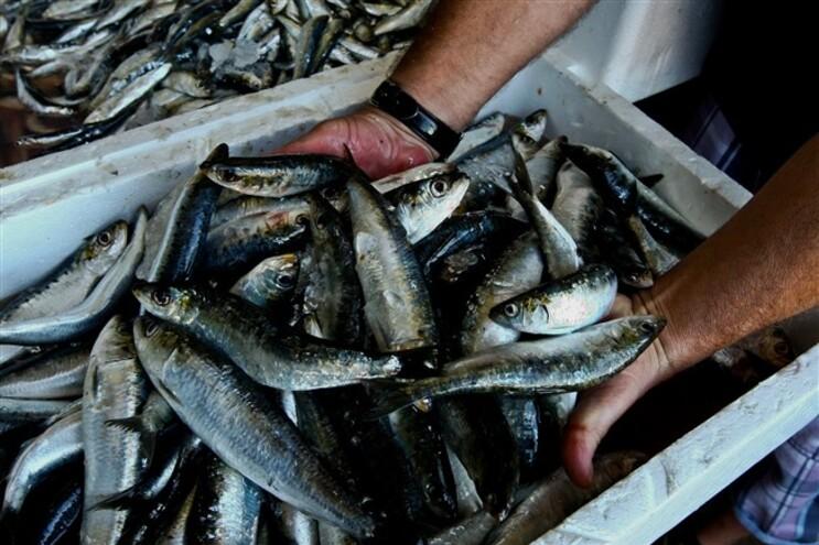 Pesca de sardinha em Portimão interdita a partir do meio-dia
