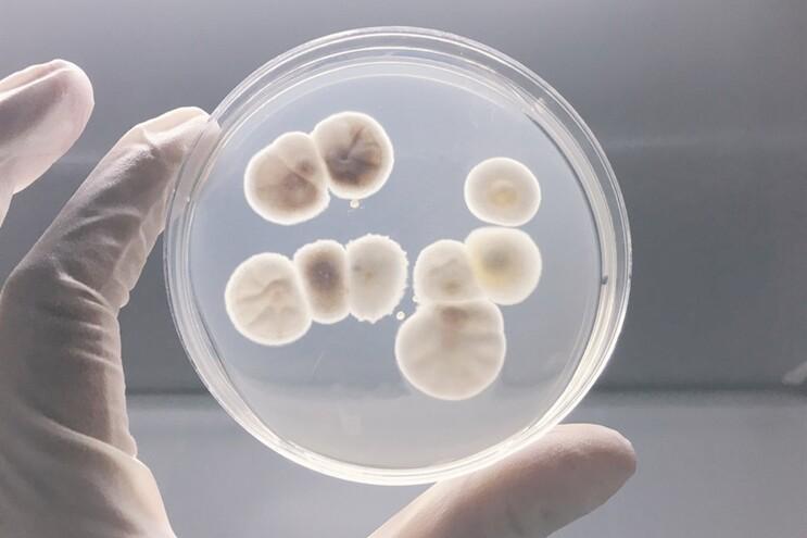 Como é que uma bactéria comum se torna mortal?
