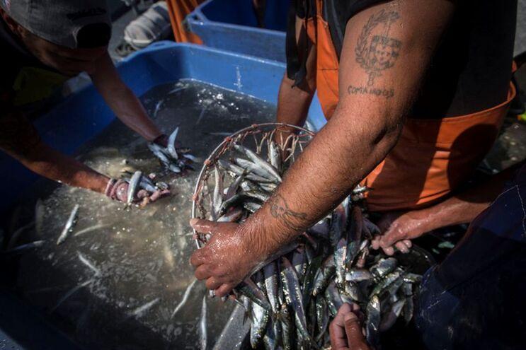 Parecer recomenda a suspensão total da sardinha por um período mínimo de 15 anos