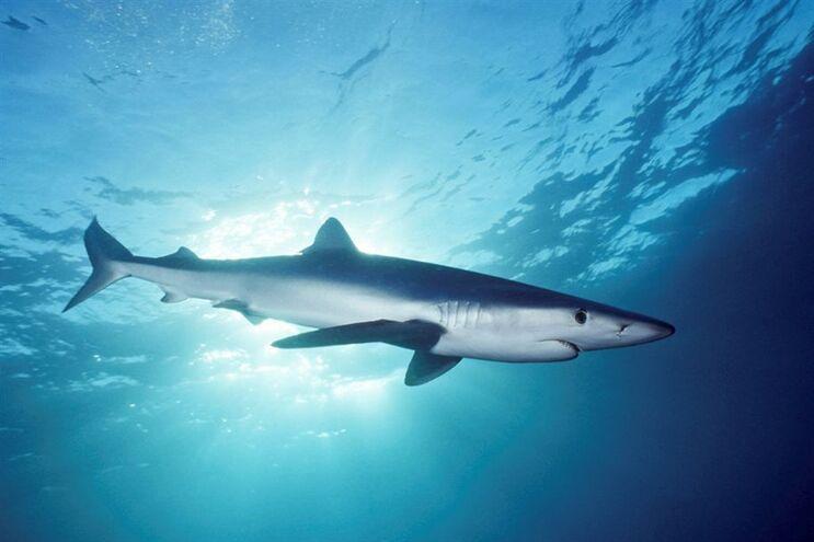 Tubarões terão tempo de vida duas vezes superior ao estimado