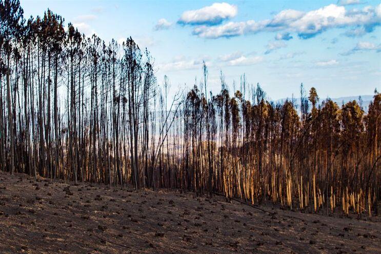 Área de pinheiro e eucalipto queimada