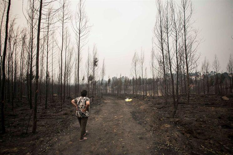 Carvalhos protegeram 40 mil macieiras do incêndio em Oliveira do Hospital