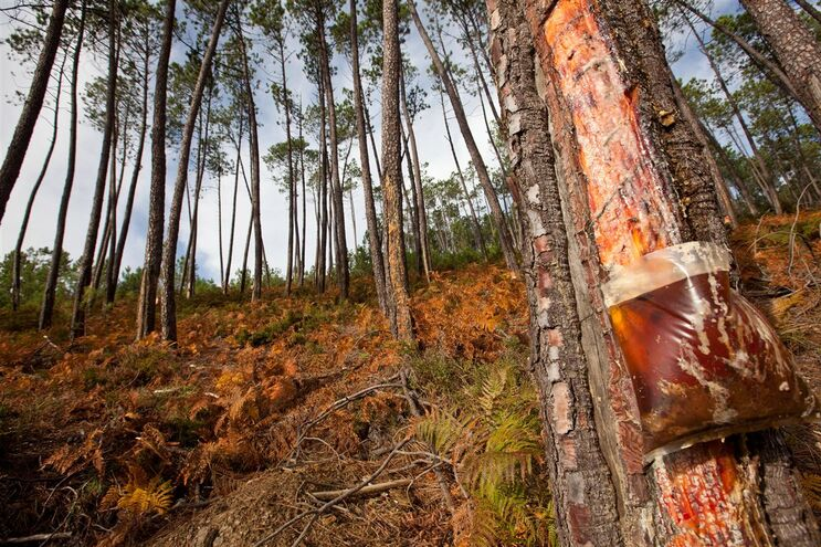 Extração de resina de pinheiro