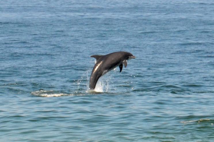 Mais de 400 golfinhos encalhados na costa francesa desde o início do ano